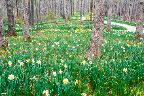 Landscape is covered with blooming Daffodils in the spring.