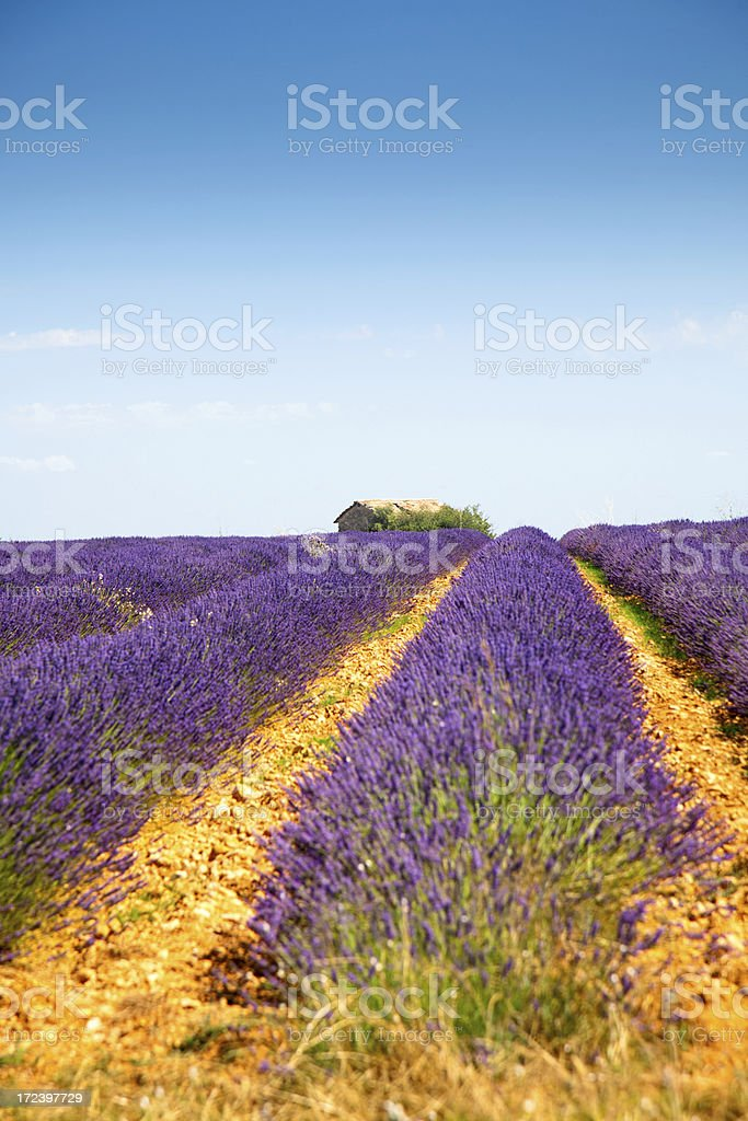 Landscape Lavender stock photo