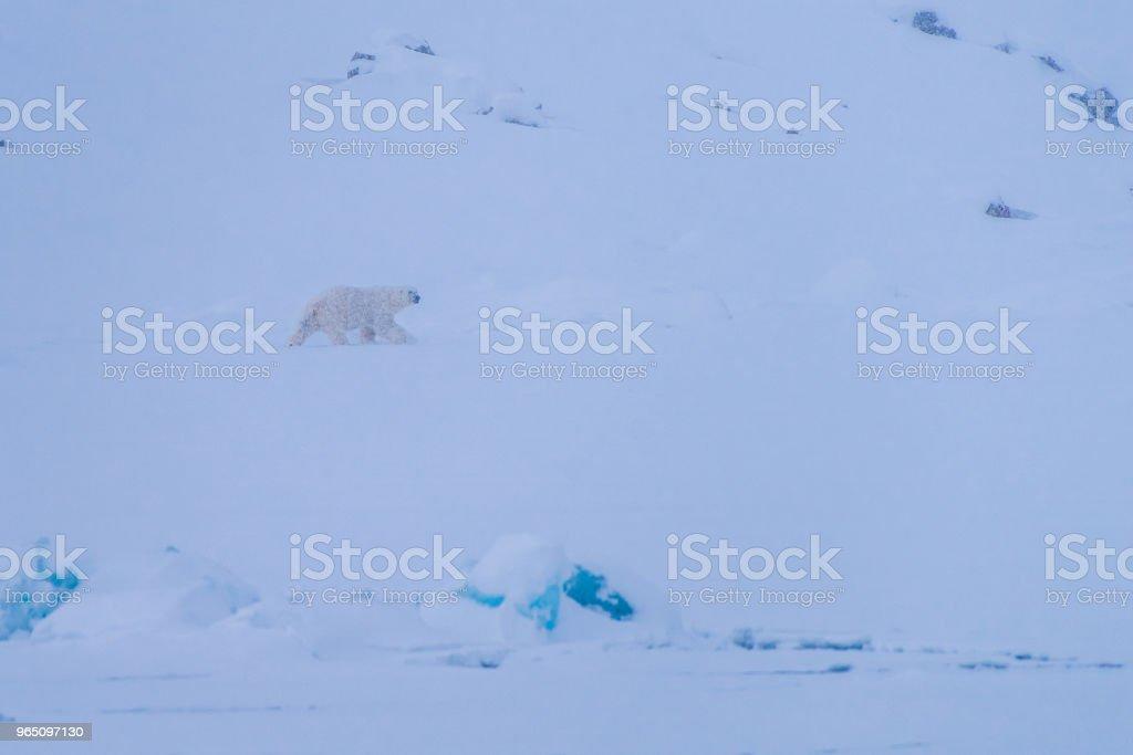 landscape nature white bear glacier  on an ice floe  of Spitsbergen Longyearbyen  Svalbard   arctic winter  polar sunshine day zbiór zdjęć royalty-free