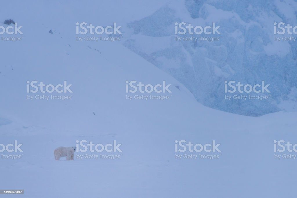 landscape nature white bear glacier  on an ice floe  of Spitsbergen Longyearbyen  Svalbard   arctic winter  polar sunshine day royalty-free stock photo