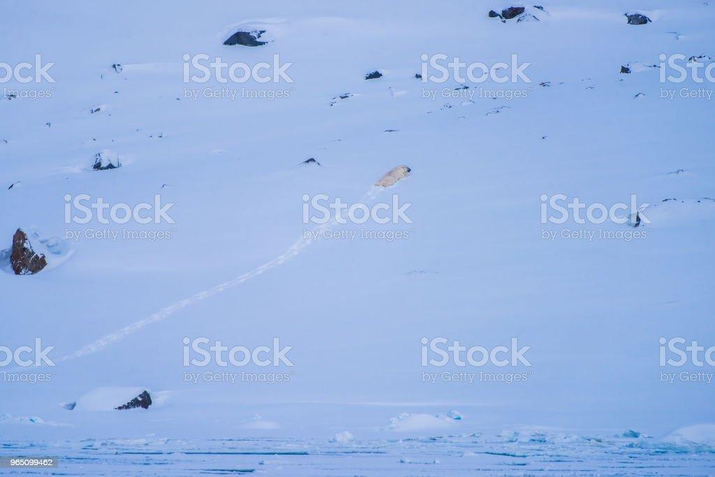 landscape nature white bear glacier  on an ice floe  of Spitsbergen Longyearbyen  Svalbard   arctic winter  polar sunshine day royalty-free stock photo