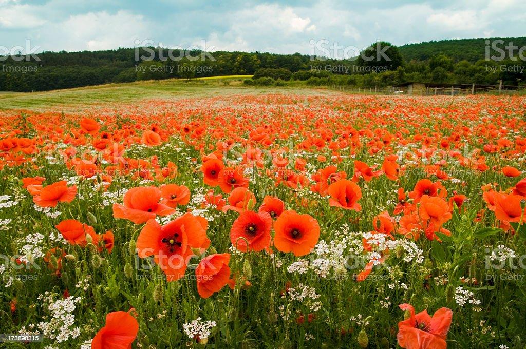 Landscape of a field of poppy flowers stock photo