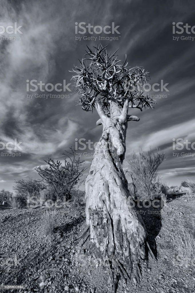 Paisaje de un árbol de la aljaba con cielo azul y nubes delgadas en seco el desierto conversión artística - foto de stock