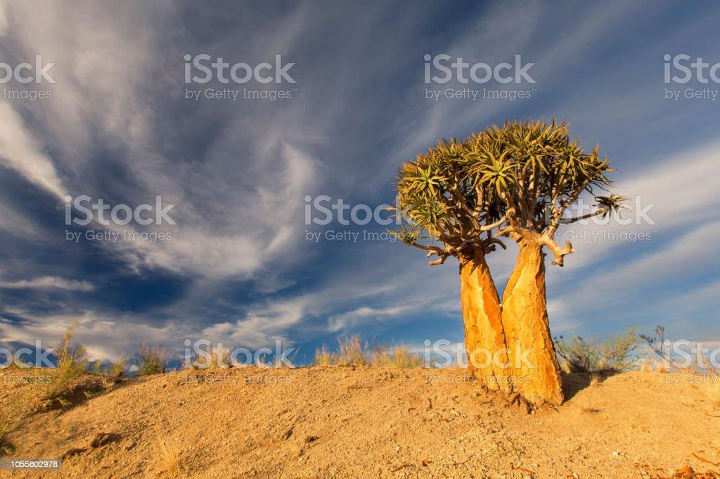 Paisaje de un árbol de la aljaba con cielo azul y nubes delgadas en el seco desierto - foto de stock