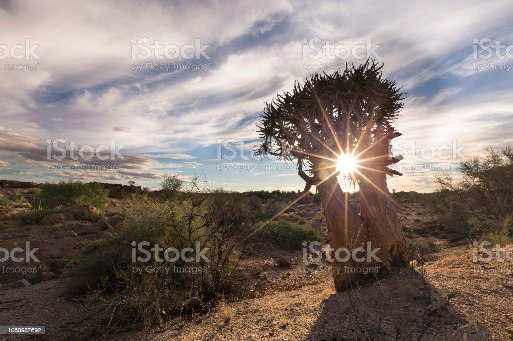 Paisaje de un árbol de la aljaba con explosión de sol y nubes delgadas en el seco desierto - foto de stock