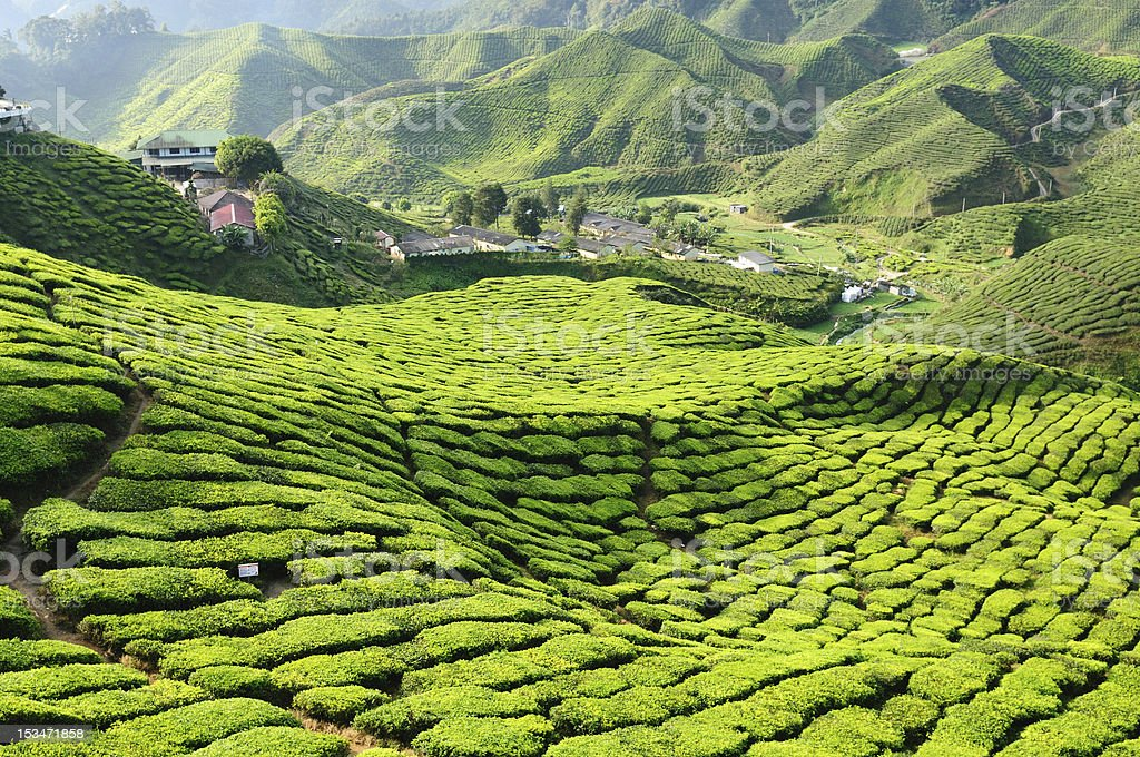 Landscape of a tea plantation in Cameron Highlands, Malaysia stock photo