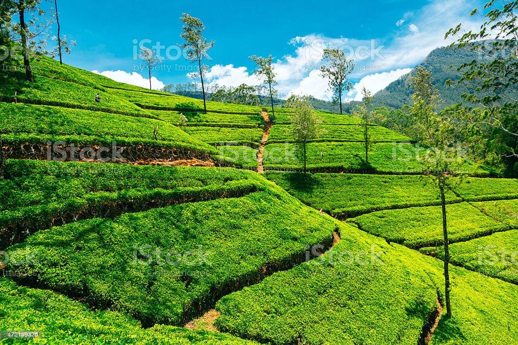Landscape of a tea plantation in Nuwara Elita, Sri Lanka stock photo