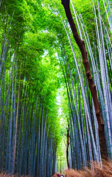 佐賀県京都の竹林風景 - 七夕の写真 ストックフォトと画像