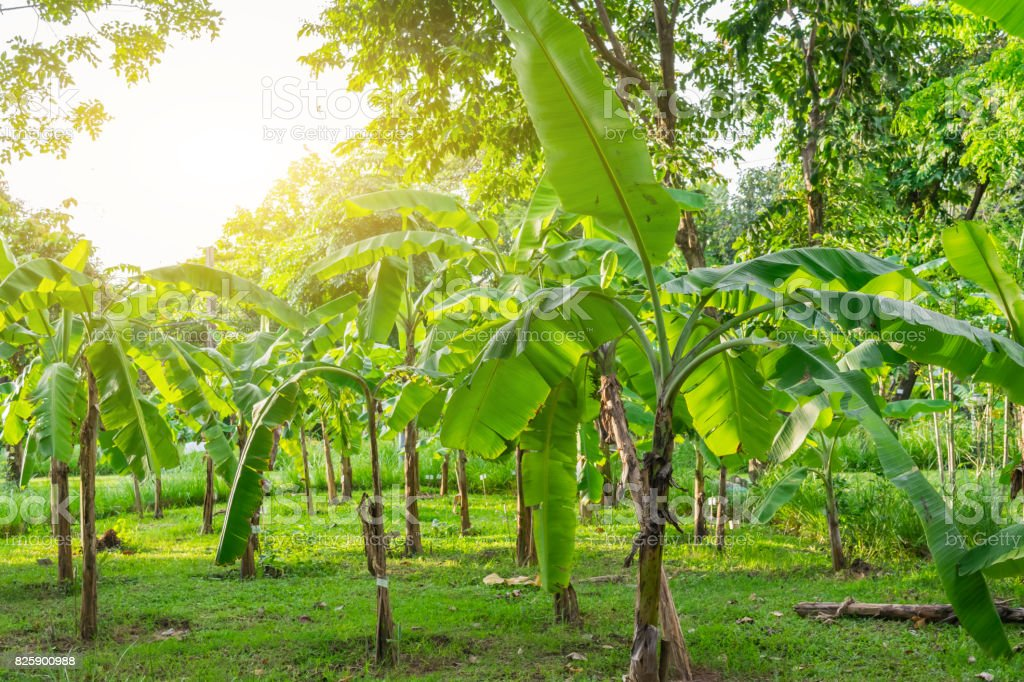 Landscape of  Banana Park in the morning with beautiful sun light. stock photo