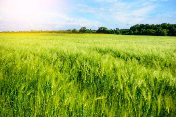 landscape of barley field in early summer stock photo
