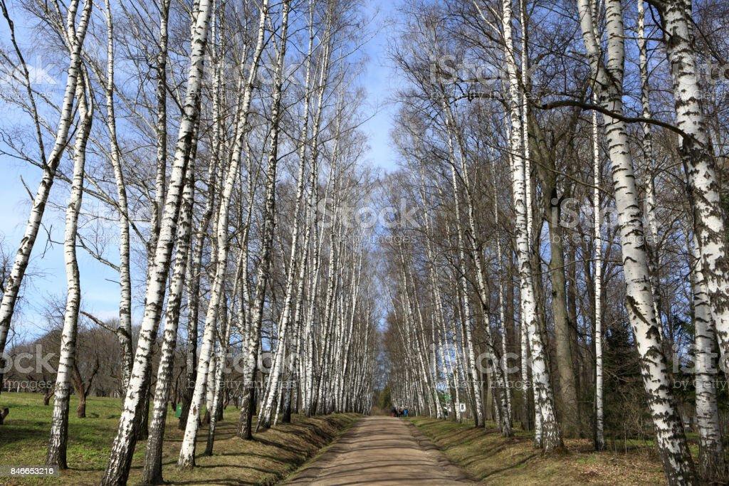 Landscape of birch alley stock photo