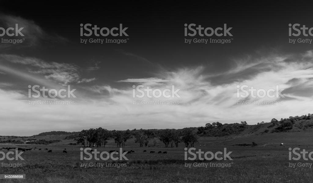 Landscape of cattle in Australia stock photo
