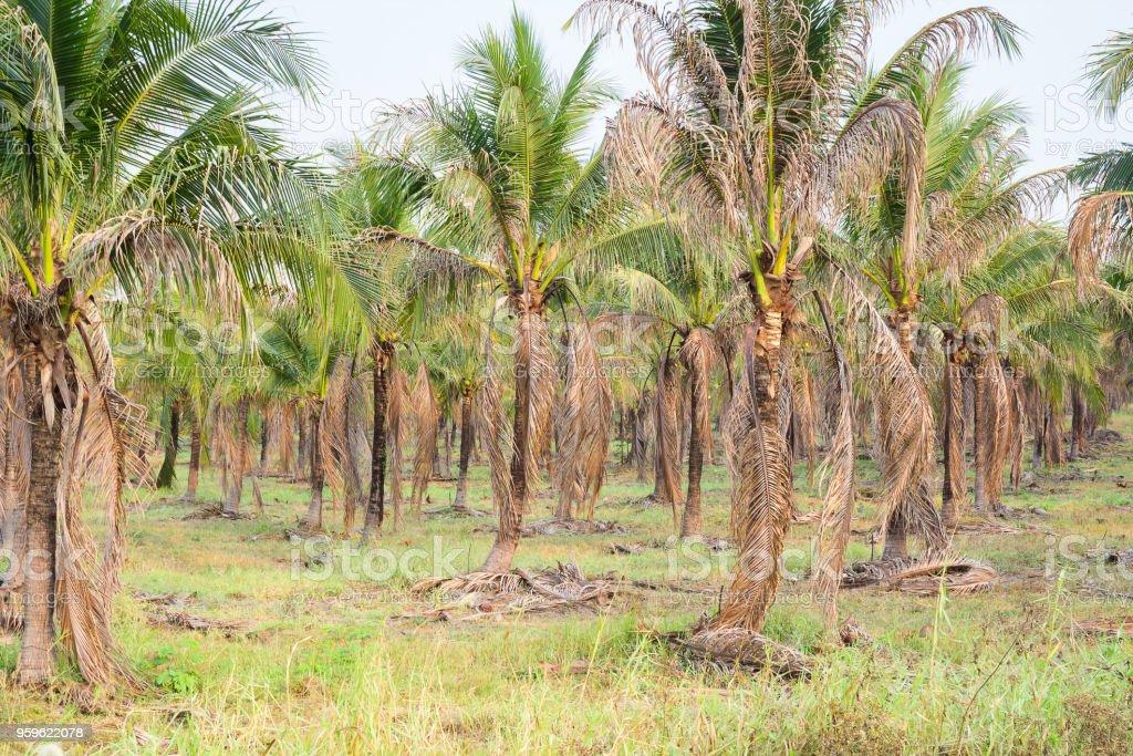 paisaje de plantaciones de Palma de coco en país tropical - Foto de stock de Agricultura libre de derechos