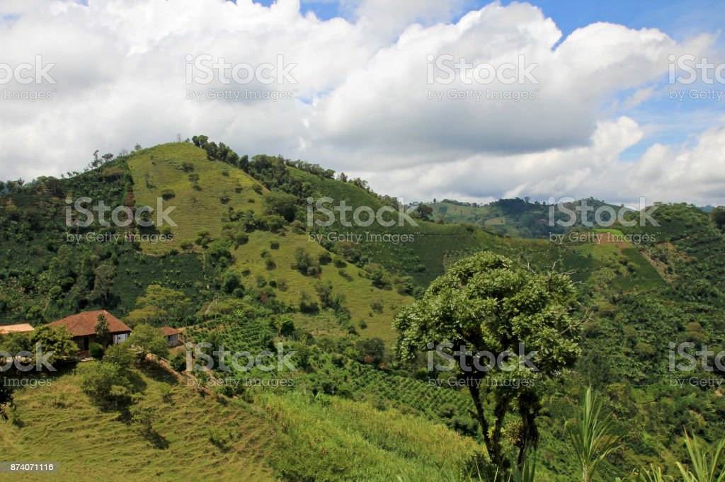 Landscape Of Coffee And Banana Plants In The Coffee Growing Region