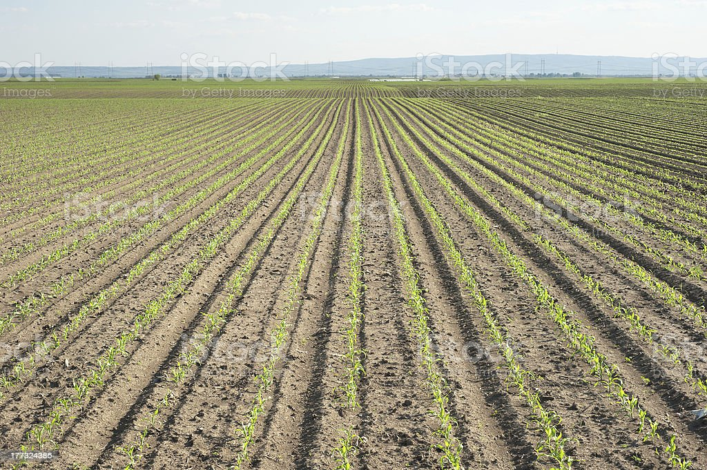 Landscape of corn field royalty-free stock photo