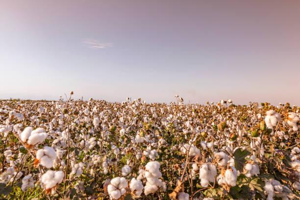 landskap av bomullsfält i turkiet - cotton growing bildbanksfoton och bilder