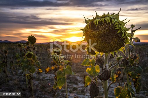 Landscape of dried sunflowers at sunset in Spain, Castile and León, Burgos