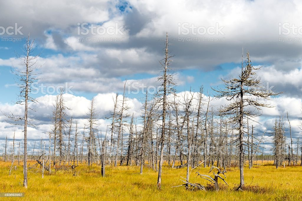 landscape of dry trees in a swamp in Siberia stock photo