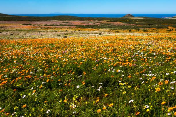 Landscape of flowers and sea in west coast national park picture id1007944490?b=1&k=6&m=1007944490&s=612x612&w=0&h=0l7e8qjoilffqofzq8c5plbxbyxqrcqohydohi o3mi=