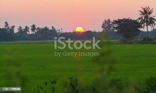HDR landscape of green paddy field during sunet background.