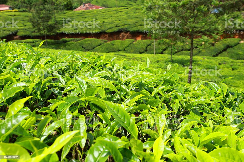 Landscape of green tea plantations. Munnar, Kerala, India royalty-free stock photo