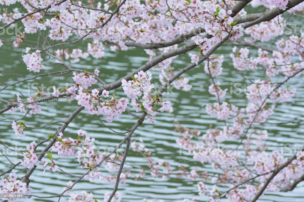 Paisajes Japoneses Cerezos Hd