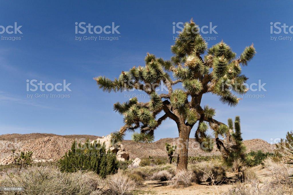 Landscape of Mojave desert and Joshua tree in California, USA stock photo