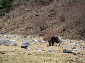 Ngawa Tibetan and Qiang Autonomous Prefecture, Sichuan Province, China - March 30, 2019 : Cattle of Mount Siguniang, Four Girls Mountain(Four Sisters Mountain, Oriental Alps).