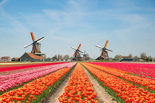 landscape of netherlands bouquet of tulips and windmills in the netherlands. - netherlands stock pictures, royalty-free photos & images
