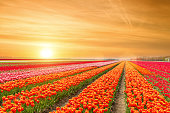 Landscape of Netherlands tulips with sunlight in Netherlands.