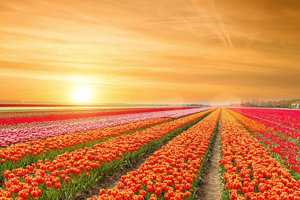 Landscape of netherlands tulips with sunlight in netherlands picture id637008930?b=1&k=6&m=637008930&s=612x612&w=0&h=s4jbsjauyptuj08fjrmmfbfl4u9unvvoh5qvooajwc0=