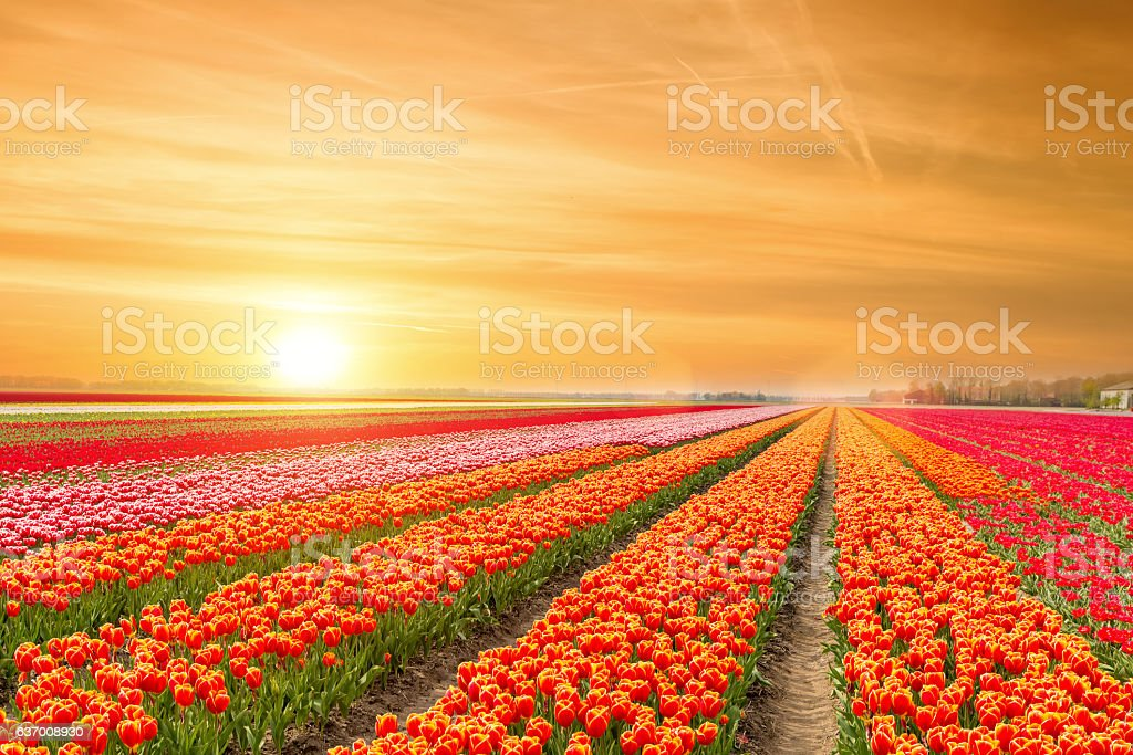 Landscape of Netherlands tulips with sunlight in Netherlands. stock photo