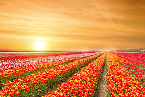 landscape of netherlands tulips with sunlight in netherlands. - tulipany zdjęcia i obrazy z banku zdjęć