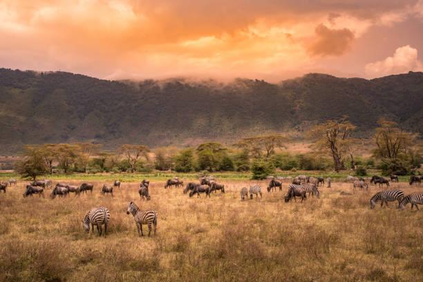 Landschaft der Ngorongoro Krater - Herde Zebras und Gnus (auch bekannt als Gnus) auf der Weide grasen - wilde Tiere bei Sonnenuntergang - Ngorongoro Conservation Area, Tansania, Afrika – Foto