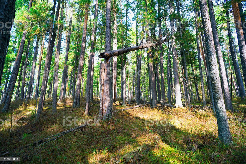 Landscape of pine forest in Siberia stock photo