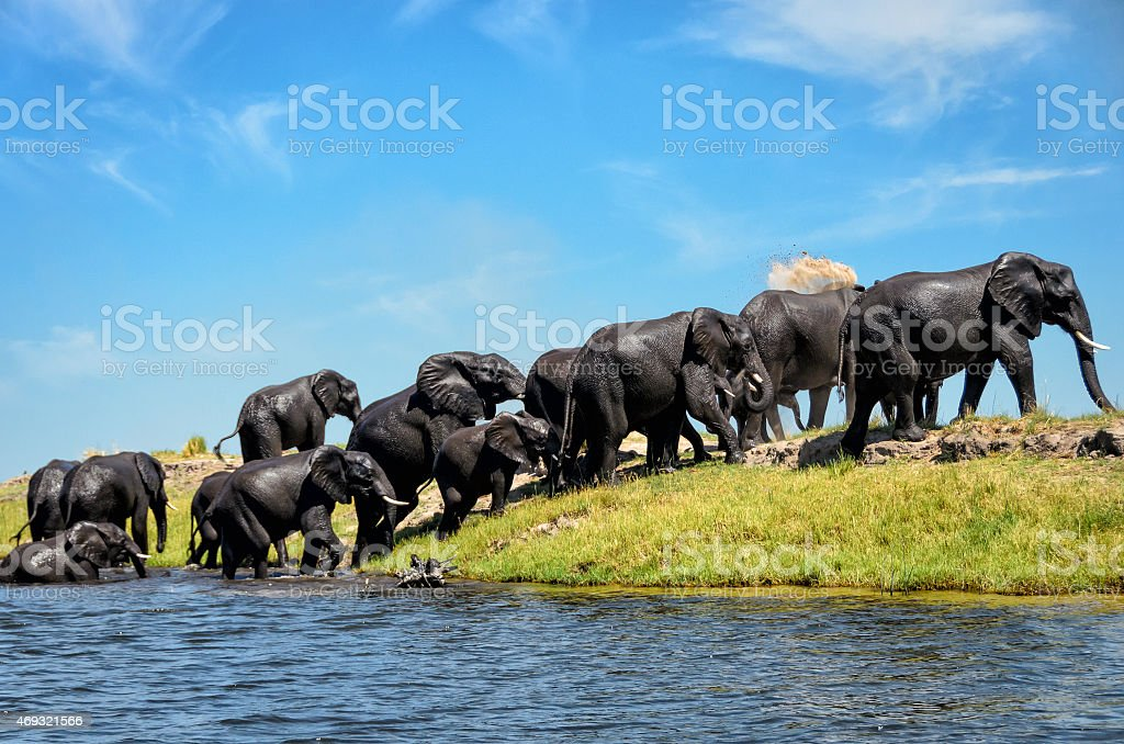 Landscape of several elephants walking out of watering hole stock photo