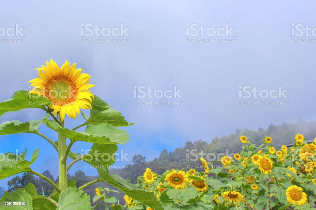 Landscape of sunflower field  bacground stock photo