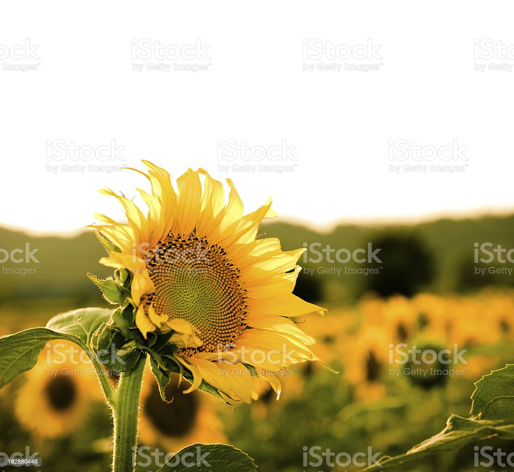 Landscape of sunflower portrait royalty-free stock photo