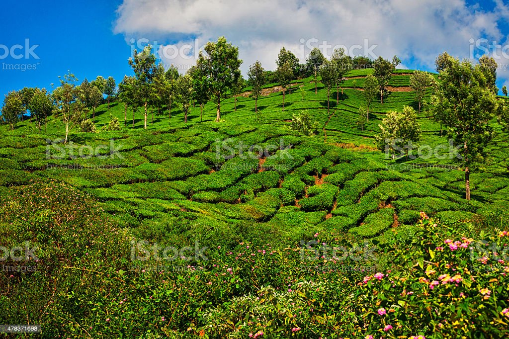 Landscape of Tea Plantations in Munnar, India stock photo