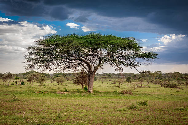 Landscape of the africa tree stock photo