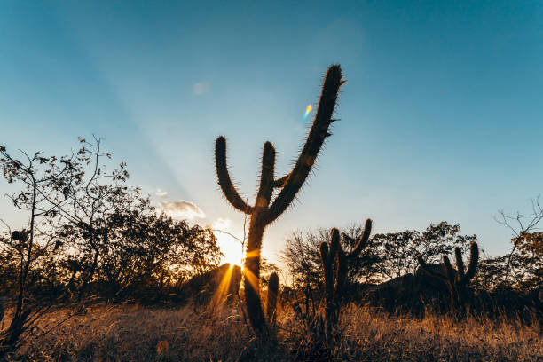 paisagem da caatinga no brasil. cactos ao pôr do sol - nordeste - fotografias e filmes do acervo