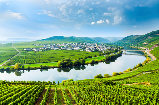Landscape of the Moselle Sinuosity with rows of vineyards