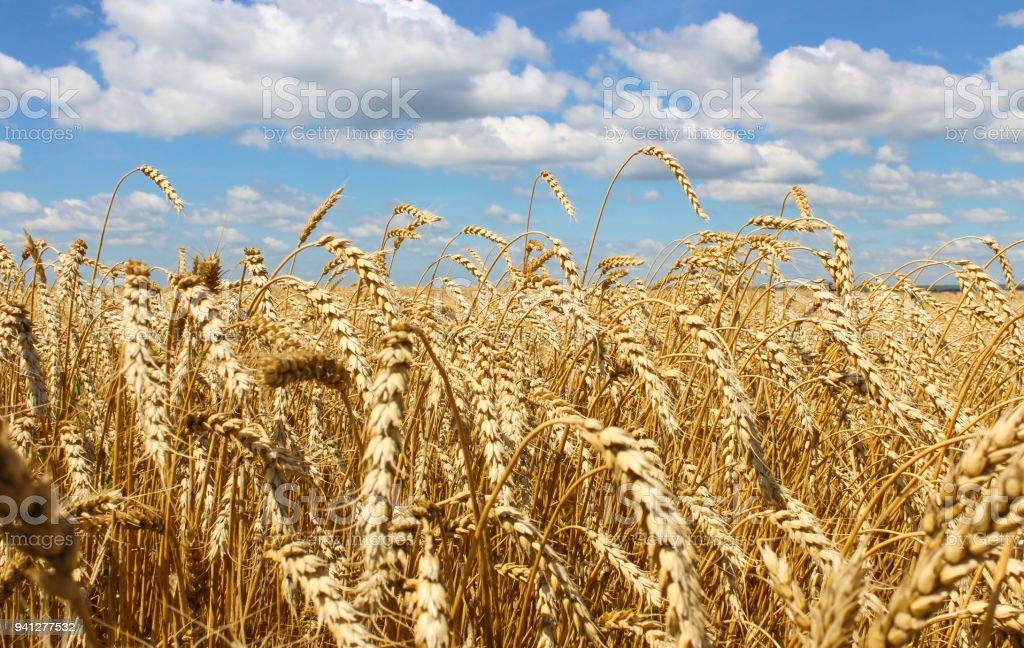 Landscape of wheat field stock photo