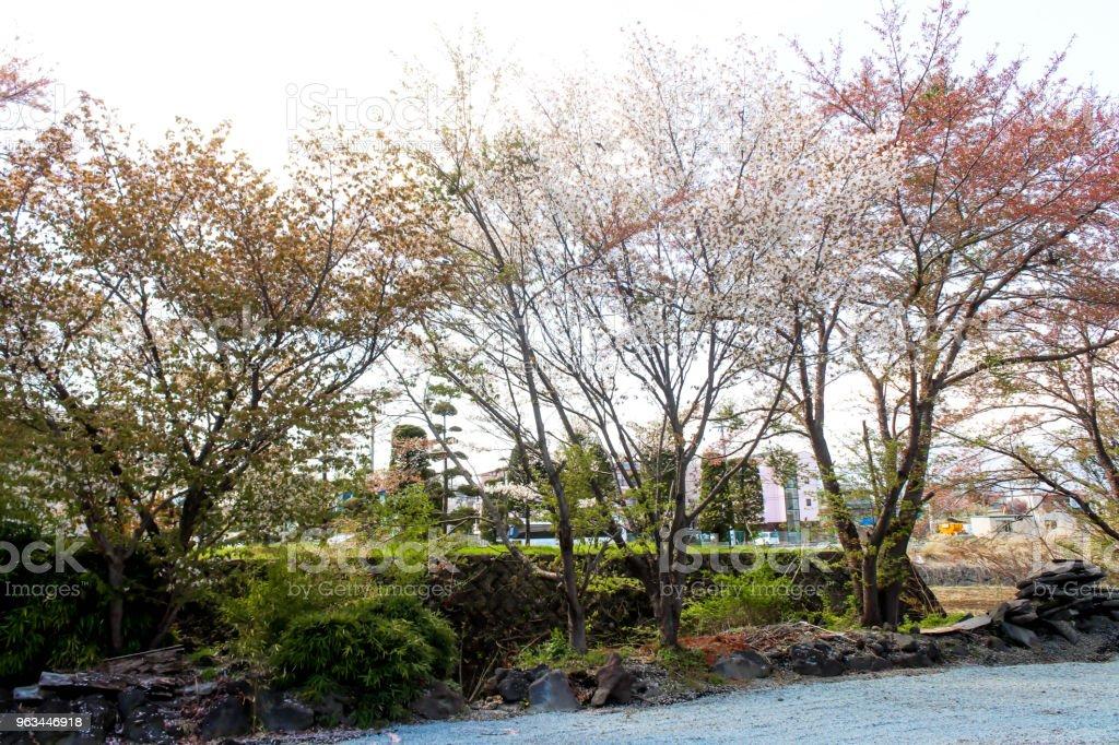 Beyaz ve turuncu sakura çiçek ağaç Japonya peyzaj - Royalty-free Asya Stok görsel