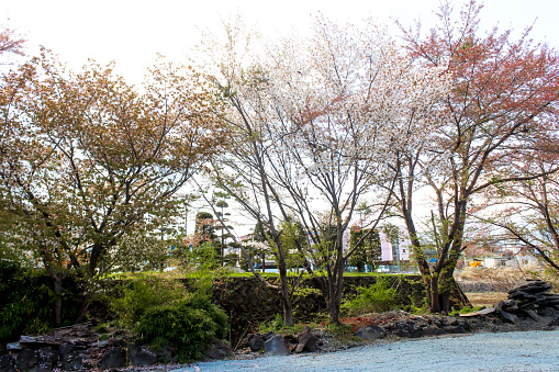 Beyaz Ve Turuncu Sakura Çiçek Ağaç Japonya Peyzaj Stok Fotoğraflar & Asya'nin Daha Fazla Resimleri