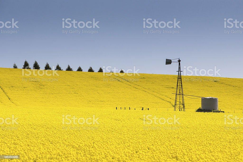 Landscape of yellow canola fields near creative stock photo