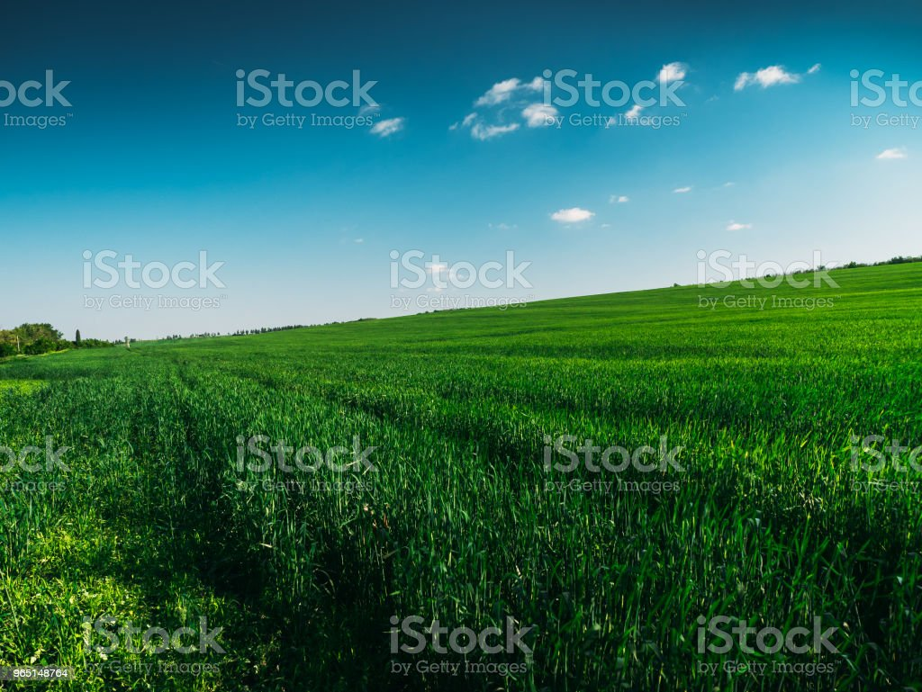 Landscape panorama of green field with high green gras in summer sunny day zbiór zdjęć royalty-free