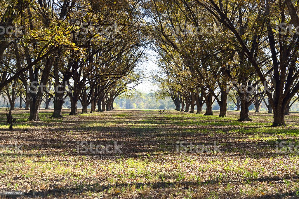 Landscape Pecan Grove Row stock photo
