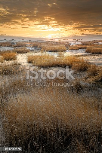 A field of reeds