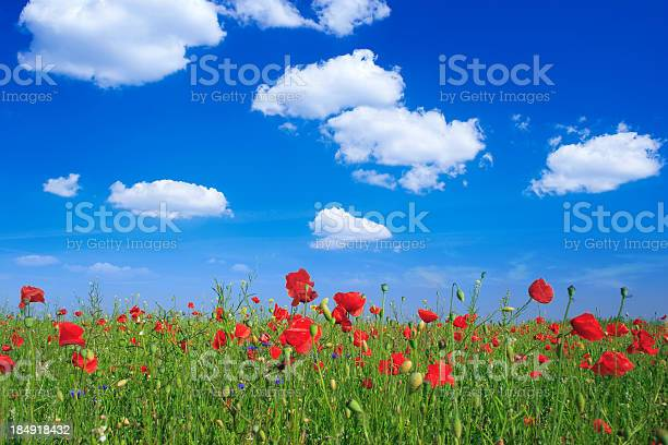 Landscape Poppys Field Blue Sky And Green Grass Stock Photo - Download Image Now